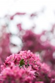 close-up shot of pink cherry blossom on natural blurred background
