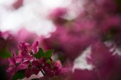 close-up shot of beautiful pink cherry blossom on blurred background