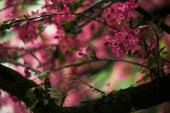 Detailní záběr o třešňový květ růžový na stromě