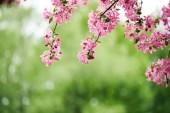 közeli lövés a zöld természetes alapon rózsaszín cseresznyevirág