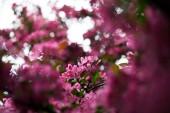 Detailní záběr krásné růžové květy třešně na stromě