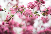 Fotografie close-up shot of branch of aromatic pink cherry flowers on tree