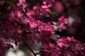 Detailní záběr růžové květy třešně na stromě