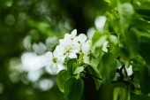 Fotografie zblízka střílel z aromatických bílé Třešňové květy na stromě