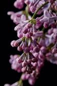 Fotografie Detailní záběr fialovými květy pokryté kapky vody, které jsou izolovány na černém pozadí