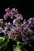 close-up shot of aromatic spring lilac flowers isolated on black
