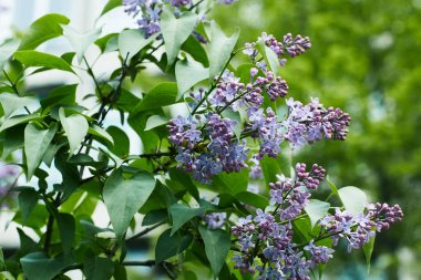 close-up shot of aromatic lilac flowers on tree outdoors