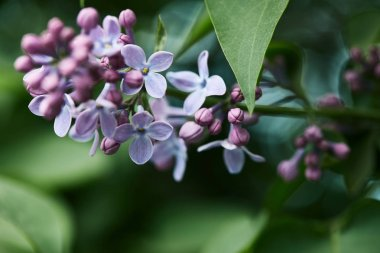 close-up shot of beautiful lilac flowers on tree outdoors