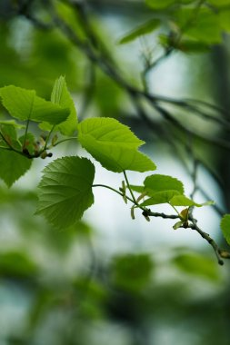 close-up shot of green tilia leaves on blurred natural background
