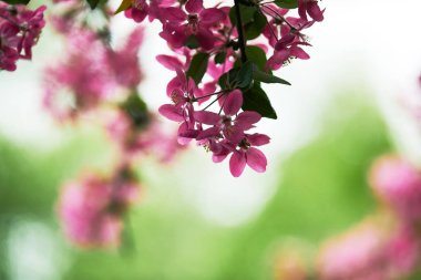 close-up shot of branch of pink cherry blossom on green natural background