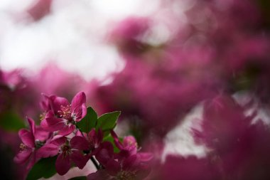 Close-up shot of beautiful pink cherry blossom on blurred background stock vector