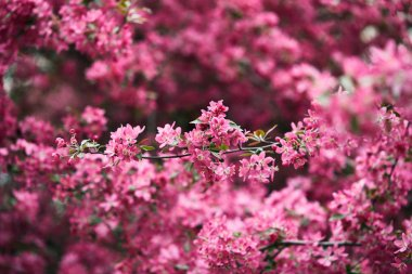close-up shot of beautiful aromatic pink cherry flowers on tree