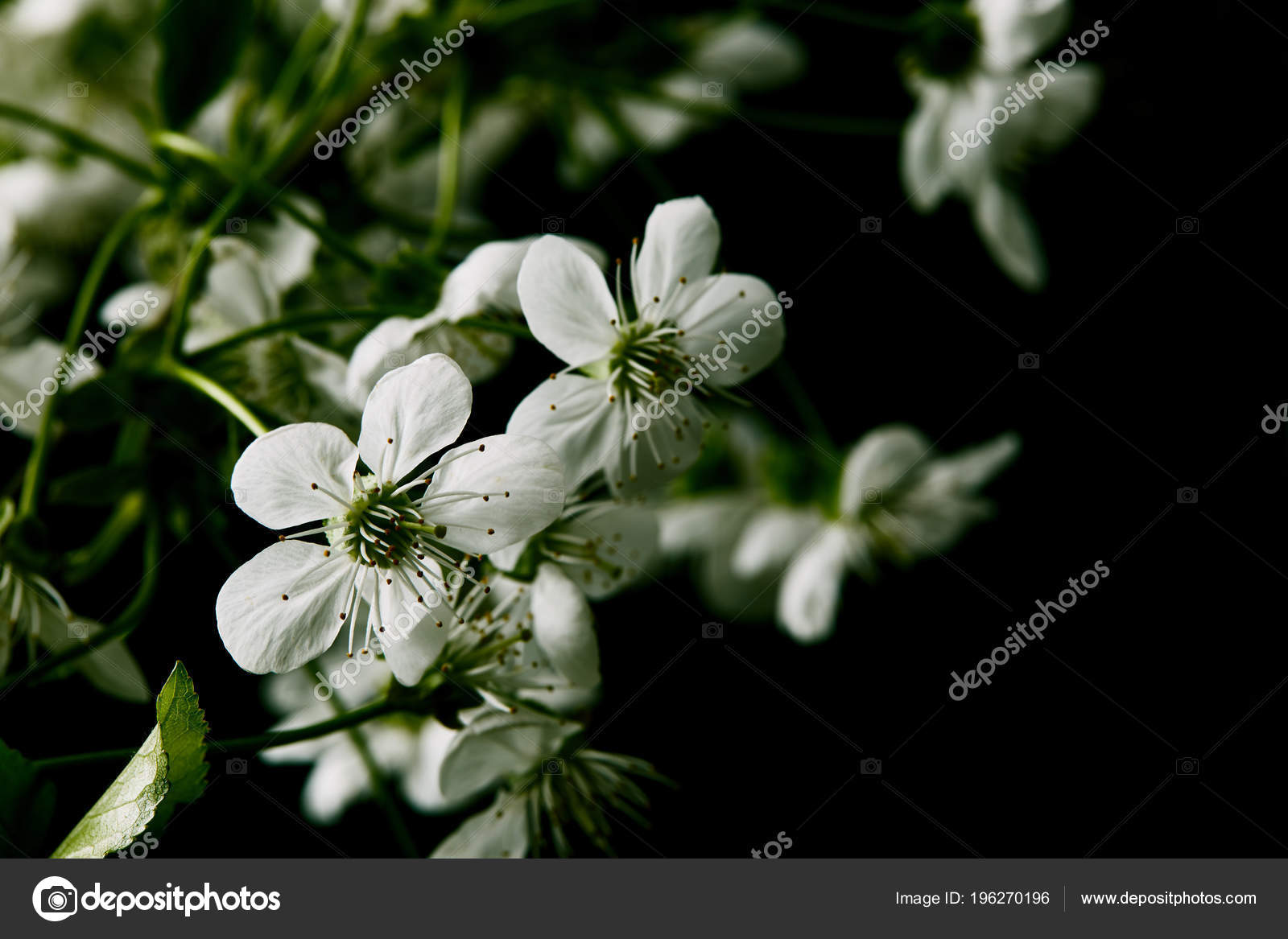 Close Shot White Cherry Blossom Isolated Black Stock Photo