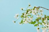 close-up shot of branch of beautiful cherry flowers isolated on blue