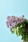 aromatický krásné fialovými květy v izolovaných na modrá váza