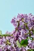 Detailní záběr krásné aromatické fialovými květy na modré, samostatný