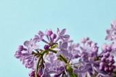 Detailní záběr krásné jarní fialovými květy na modré, samostatný