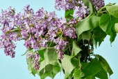Fotografie beautiful spring lilac flowers isolated on blue