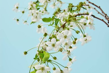 close-up shot of branches of white cherry flowers isolated on blue