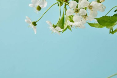Close-up shot of white cherry flowers isolated on blue stock vector