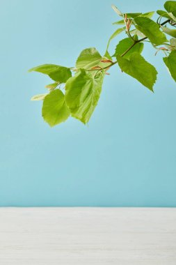 close-up shot of blooming green linden branch isolated on blue