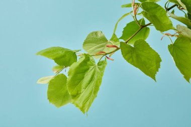 close-up shot of blooming tilia branch isolated on blue