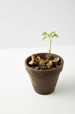 close-up view of single green plant and dried leaves on soil in pot on grey