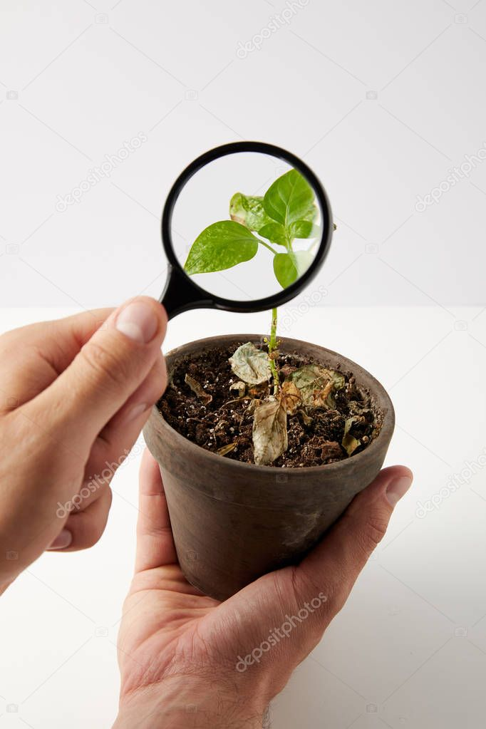 close-up partial view of person holding magnifying glass and green plant in pot on grey