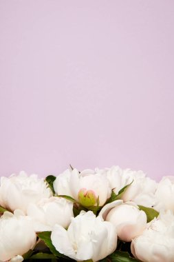 close-up view of beautiful tender blooming peony flowers isolated on purple background