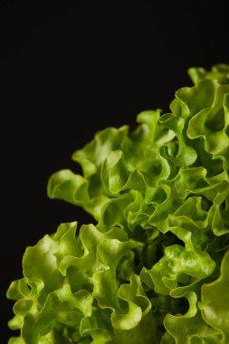 close-up shot of fresh lettuce leaves isolated on black