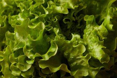 full frame shot of ripe lettuce leaves