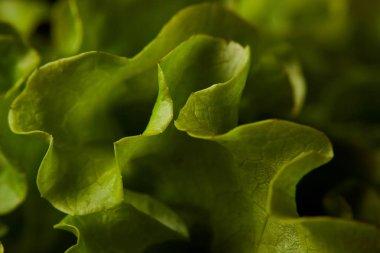 full frame shot of fresh lettuce leaves