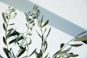 Fotografia rami di ulivo davanti al muro bianco con ombra