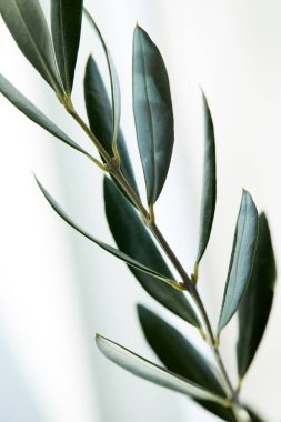 close up view of leaves of olive branch on blurred background