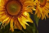 Fotografie tmavé pozadí s krásné žluté slunečnice, na černém pozadí