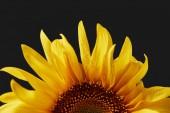 zblízka mokrý žluté okvětní lístky slunečnice s kapkami, izolované na černém