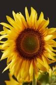 Fotografie wet bright yellow sunflower, isolated on black