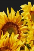 Fotografie beautiful background with yellow sunflowers, isolated on black