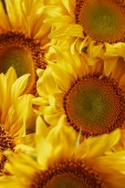 summer texture with yellow fragrant sunflowers