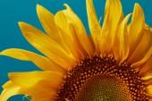 Detailní záběr krásný mokrý žluté slunečnice, izolované na modré
