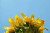 Fotografie rear view of beautiful yellow sunflower, isolated on blue