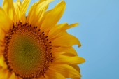 Fotografie close up of beautiful yellow sunflower, isolated on blue