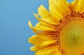 zblízka letní žluté slunečnice, izolované na modré