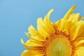 krásné žluté slunečnice, izolované na modrý s copy prostor