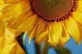 Detailní záběr z krásné žluté slunečnice na modré