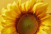 Fotografie close up of yellow decorative sunflower, isolated on yellow