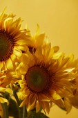 Fotografie bouquet with beautiful yellow sunflowers, isolated on yellow