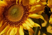 Fotografie close up background with beautiful yellow sunflower