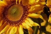 Detailní záběr pozadí s krásné žluté slunečnice