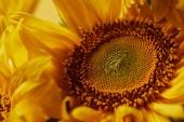 krásná textura s žluté slunečnice, zblízka